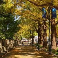 """黄色く色づいたら、お散歩に出かけましょ♪あなたの街の""""いちょう並木""""スポット"""