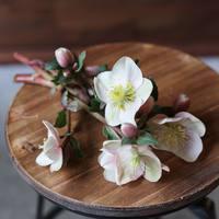 冬に咲く、美しい花。《クリスマスローズ》を育ててみませんか?