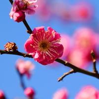 春の訪れを教えてくれる「梅の花」。【都内の公園 or 梅の名所】どこで楽しむ?