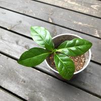 コーヒー好きなら、艶やかで薫り高い『コーヒーの木』を育ててみませんか?