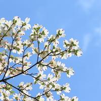 """お家のシンボルツリー「ハナミズキ」。花がちゃんと咲く""""育て方""""ガイド"""