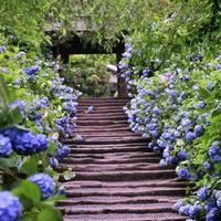 地元民がご案内する《鎌倉の歩きかた》6月篇~紫陽花と珈琲と~