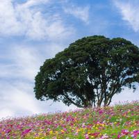秋ならではの可憐な花に魅せられて…関東地方のコスモス畑を訪れませんか?
