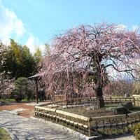 桃色に包まれた風景に魅せられよう……近畿地方(大阪)での梅の名所6選