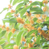 大好きな「キンモクセイの香り」。効果と、人気の金木犀の香水を紹介