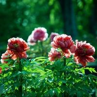 爽やかな春空と百花の王に魅せられて…牡丹の名所7選【兵庫県編】