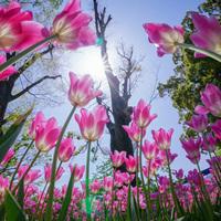 春の陽気に包まれながら。童話のような素敵な風景を見に行こう!関東地方のチューリップ畑