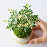 日常に小さな自然を取り入れる、オリジナル盆栽ブランド「石木花(せきぼっか)」