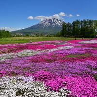ピンク色のグラデーションに染まった絶景を見に行こう…北海道の芝桜の名所6選