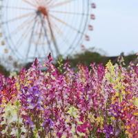 色とりどりの春を探しに出かけよう♪関東のおすすめ【お花畑スポット】