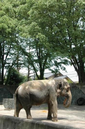 『井の頭動物園』では象の花子が昨年5月に亡くなってしまいましたが、モルモットふれいあいコーナーやミニ遊園地などもあり、小さなお子さんがいらっしゃる方はなかなか楽しめます。