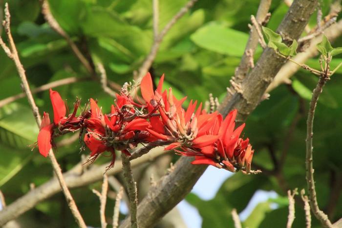 大神山公園ではデイゴの花が咲き誇ります。