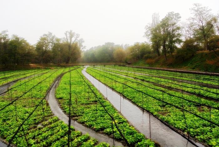 ワサビの栽培は、1600年頃に静岡で始まったと云われています。江戸時代後期に、庶民が蕎麦や寿司を食すようになってから急速に普及し、明治期以降に本格的に栽培されるようになりました。