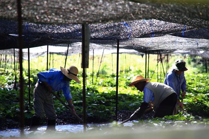 ワサビ漬けなどの加工用に用いられるのは、山林やハウスなどで育てられたもので「陸ワサビ(畑ワサビ)」と呼ばれます。 そして、よく家庭で使われているチューブ入りのワサビや粉わさびの主な原料となっているのが、「西洋ワサビ(ホースラディッシュ/山ワサビ」です。
