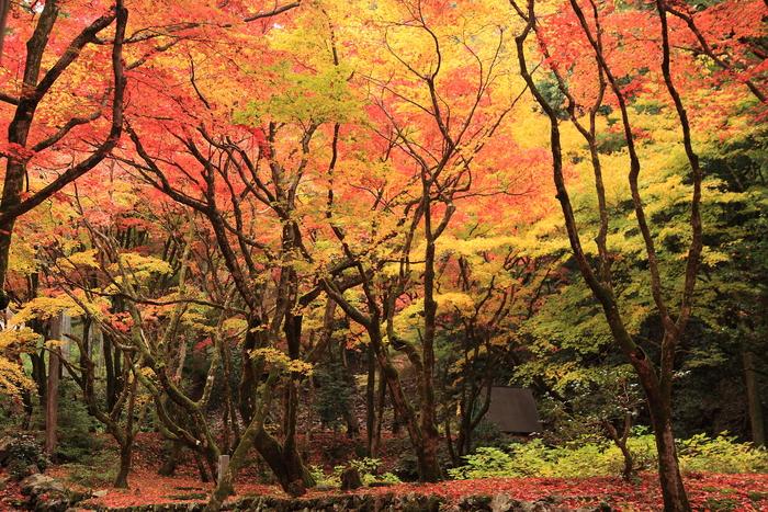 目に眩しいほどに、輝く紅葉。