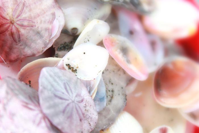 運がいいと、30分ほど海岸を歩いただけでこんなにたくさんの種類の貝殻を拾えてしまいます。 冬だからたくさん見つかる種類の貝もあるんです。