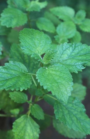 ●レモンバーム(Lemonbalm)● ハーブティーにはかかせないレモンバーム。保存法は8本ぐらいを束ねて輪ゴムでくくり、風通しの良い日陰に2週間干し、乾燥したら葉をむしり取り密閉容器に入れます。