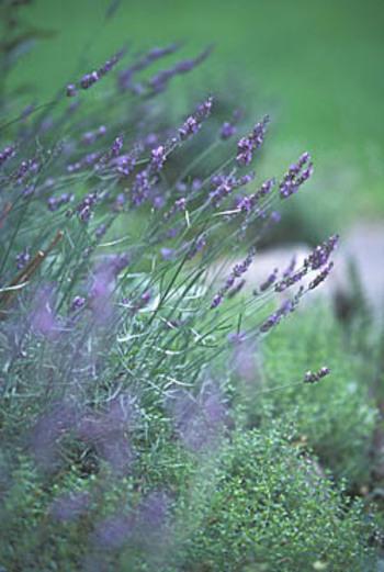 ●ラベンダー(lavender)● なくてはならないハーブのひとつラベンダー。お料理に虫除けに消臭効果にと、ベニシア邸でも大活躍です。