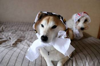 手ぬぐいも似合っています♡さすが、日本の犬!!