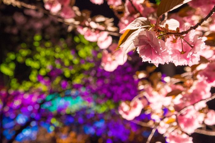 長瀞の桜の名所「通り抜けの桜」。500本の八重桜の中を散策できる遊歩道が続いています。  通り抜けの桜は夜間ライトアップされています。夜の八重桜って幻想的で妖しいイメージがありませんか?ソメイヨシノより艶っぽく感じてしまいます。