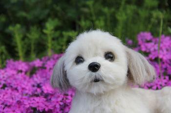 シーズーの美穂ちゃん。真っ白、ふわふわ・サラサラです。