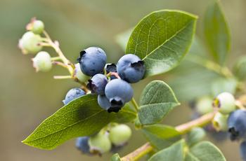 「ブルーベリー」 ベリー系の果実の定番と言えば、なんといってもブルーベリーではないでしょうか?日本でも広く愛されていて、自宅の庭で栽培している方も多いようです。病気に強く、消毒などを必要としないので手間がかからず、栽培しやすい果樹として人気があります。マンションのベランダでも手軽に鉢植えで育てられるのも魅力です。ポイントは、同じ系統の苗を2品種植えることです。