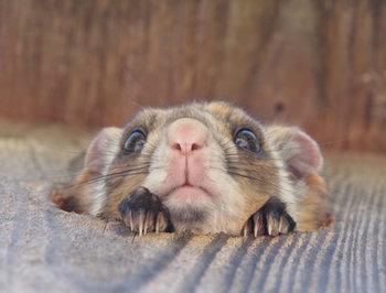 森のいきもの案内人 ピッキオが開催するネイチャーツアー 夕暮れの森へ出かけるムササビを観察する 空飛ぶムササビウォッチングは、遭遇率98.1%! 座布団のように体を大きく広げて夕暮れの杜へ飛んでいく姿に 思わず歓声があがります。