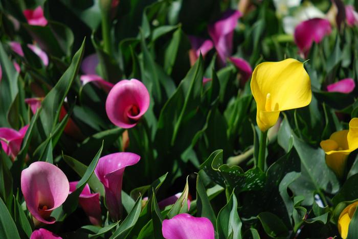 白、黄色、ピンクが代表的な色です。ブーケや観賞用としても人気のカラー。お家でおしゃれに飾りたいですね。