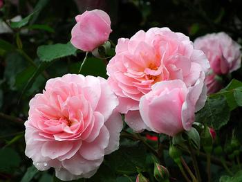 5月になると、各地でバラが見ごろを迎えますね。花好きの方にはたまらない季節がやってきます♪