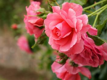 ただバラを見て楽しむだけでなく、名前の由来や産地にも注目してみると楽しみ方が広がりますね☆