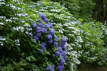 境内のあちこちにあじさいが咲いていて、思わず足を止めてその美しさに見入ってしまいます。