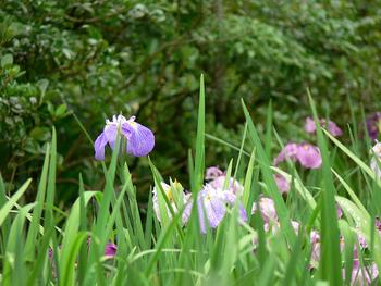 観光地を星の数で格付けする「ミシュラン・グリーンガイド」で、東慶寺は最高ランクの「三つ星」に選ばれました。6月は紫陽花と一緒に花菖蒲も楽しむことができます。