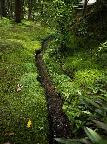 水が流れる側溝の脇も苔で覆われています。