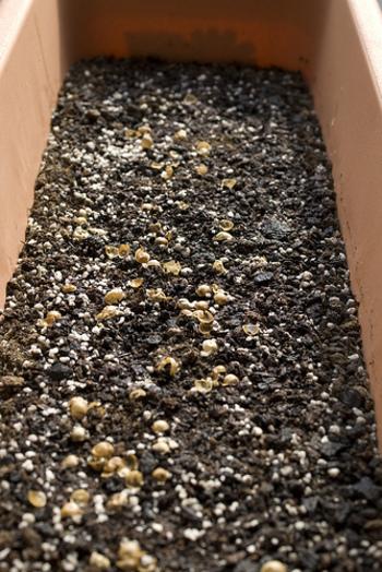 1.水はけをよくするため、プランターの底に鉢底石を敷きます。その上にプランターの高さの約8割~9割程度の土を入れます。土を入れたら、指を使ってタネをまく穴をあけます。ちょうどよい深さは、人差し指の第1関節です。15cm~20cmほどの間隔を開けてまくと植えて1週間ほどで発芽します。
