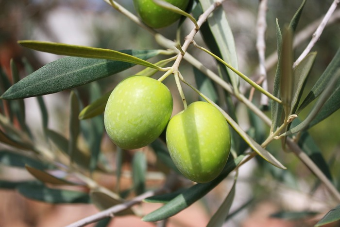 時期になるとこんな実をつけるオリーブの木。オリーブオイルはもちろん、最近は日本でもピクルスなどが食用として浸透しています。