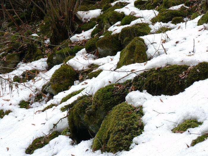 ここでは蘚類は128種、苔類は39種が発見されています。中にはレッドリストに登録されている大変貴重な苔も。