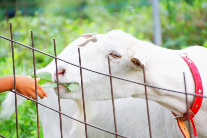 むしゃむしゃ。もぐもぐ。羊も私たちもおいしいご飯に心も体も満たされます。