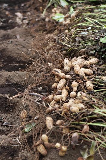掘ってみると、こんな感じで実がついてます。落花生は「地下結実性」と言って、黄色い小さな花が咲き受粉したあと、2~3日すると、おちた花芽からひも状のものが伸び、これが土中に入ると、その先端が膨らみ実になります。