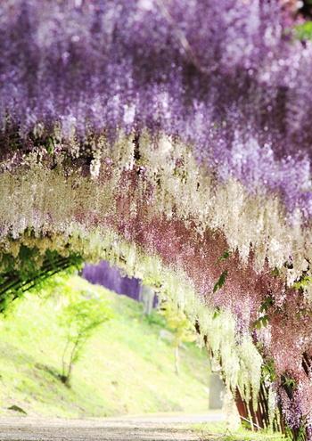 20種類もの藤が見事なグラデーションを描きます。花の甘い香りに包まれて、夢うつつな時間を…。