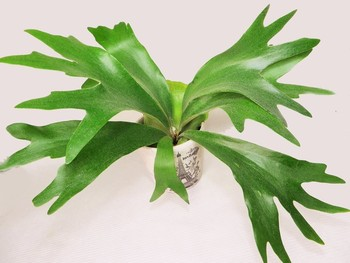ダイナミックに広がった葉っぱが、コウモリが羽を広げたように見えることからこの名前がつきました。日本へは明治時代初期頃に伝わり、葉っぱが鹿の角に似ているとして麇角羊歯(ビカクシダ)とも呼ばれています。