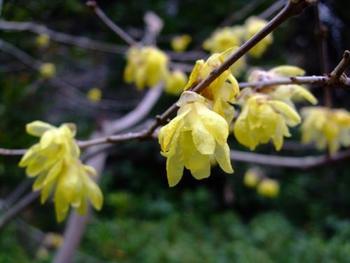 海蔵寺の蝋梅(ロウバイ)も有名。甘い芳香の蝋梅は、春を告げる花。