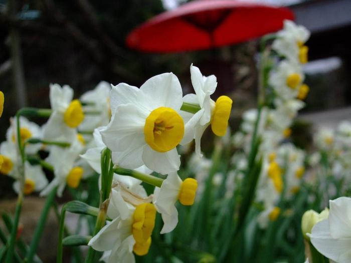"""""""花の寺""""良く知られる海蔵寺。早春の梅、夏のノウゼンカズラ、初秋の萩。そして冬の水仙。"""