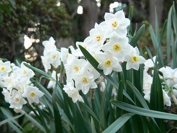 ツバキだけでなく、四季折々に様々な花々で彩られる「大巧寺」は、鎌倉駅から徒歩で3分。鎌倉を訪れる際は、季節を問わずぜひ立ち寄ってみましょう。 【画像は「大巧寺」に咲く水仙。】