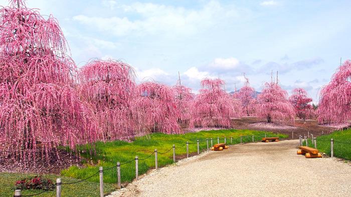 梅の新名所としておすすめなのが、鈴鹿の森庭園です。降り注ぐように美しく咲くしだれ梅は、普通の梅とはまた違った趣が。