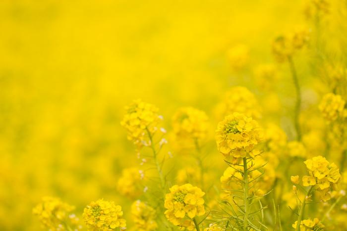 今年こそ、気になるお花の名所へ足を運んでみませんか?きっと感動の景色が待ってくれていますよ♪今回はいろいろなお花の名所を、開花順に紹介させて頂きます。気になったところがあれば、旅の計画を立ててみるのもいいかもしれませんね。
