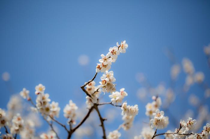 梅の花言葉は「高潔・忠義」です。まだまだ寒いですが、梅の花が咲き始めると、春の訪れを徐々に感じられますね。