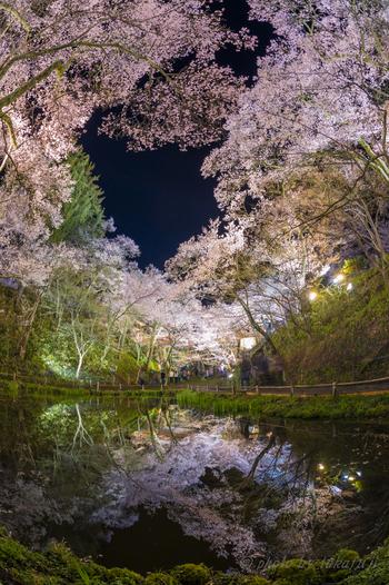 水面に映る桜のなんと美しいこと。思わず時間を忘れて立ち尽くしてしまいそうですね。