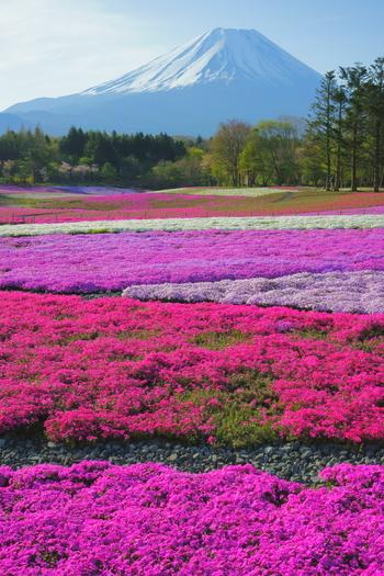 5色の芝桜が富士山の足元を美しく彩っています。まさに絶景!