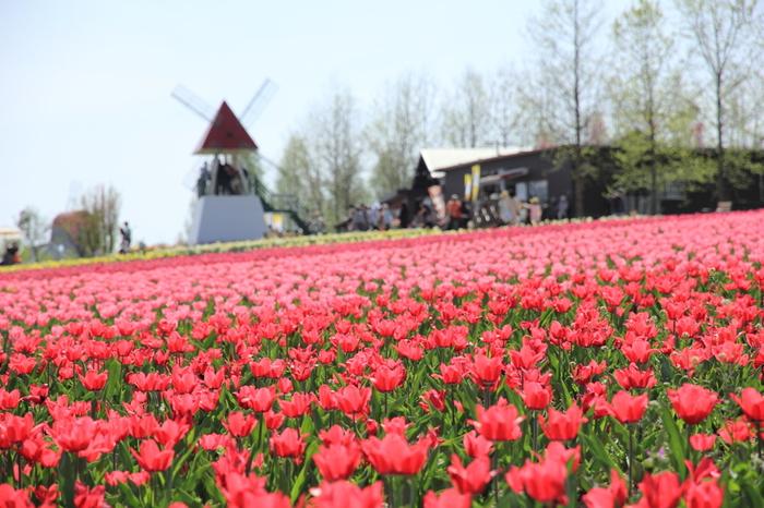 一面のチューリップ畑!風車も相まって、なんだか外国にいるような気分に。ちょっと足を延ばしても訪れたい場所です。