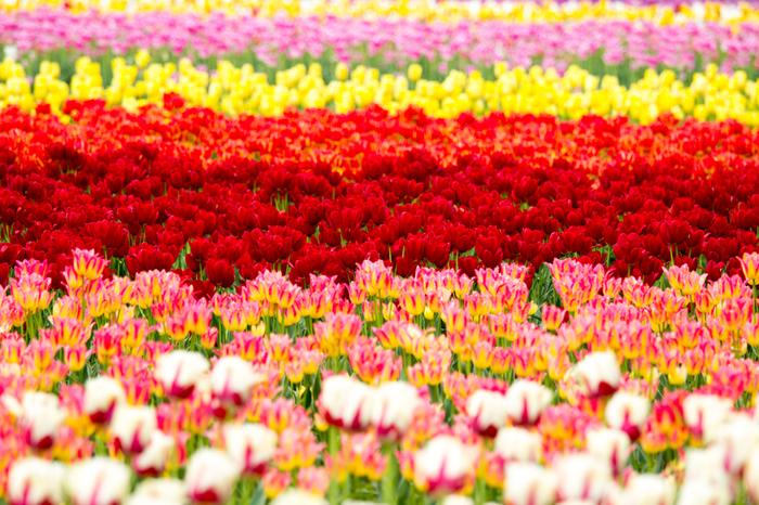 チューリップの花言葉は「博愛」です。チューリップは童謡の影響もあり、子供の頃から馴染みがあり、好きだという方も多いのではないのでしょうか?